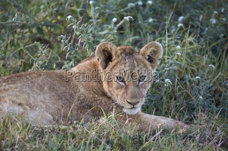 lion panthera leo cub ngorongoro crater