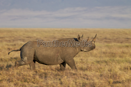 black rhinoceros hook lipped rhinoceros diceros