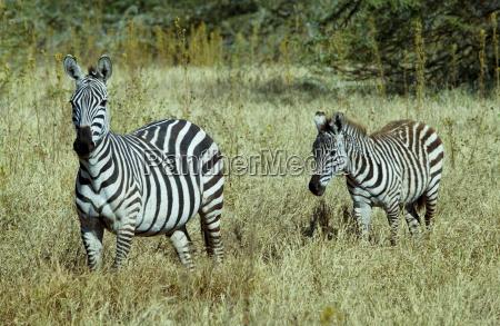 common plains zebra grants foal