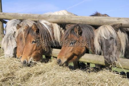 fila de cinco caballos en miniatura
