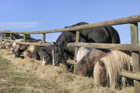 caballo los animales europa caballos horizontalmente