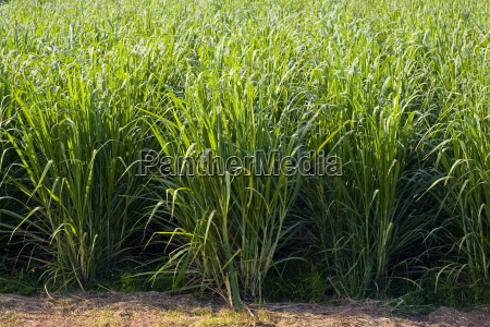 paddock de canya de azucar freshwater