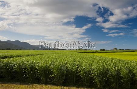 campo de canya de azucar conexion