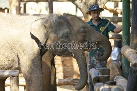 asia elefante los animales horizontalmente al