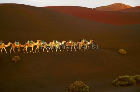 paseo viaje desierto animal los animales