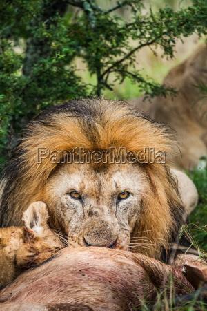 muerte color africa leon gato retrato