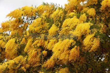 mallorca flores sangrar amarillo
