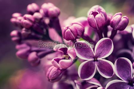 flores lila purpura flor primavera