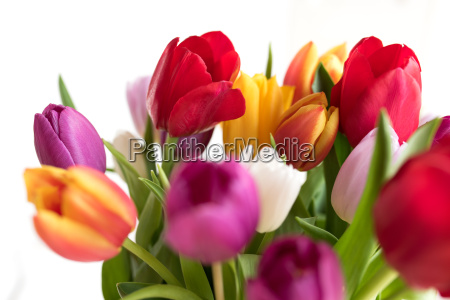 beautiful colored tulips in spring