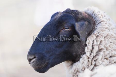 animal mamifero retrato negro retrato de