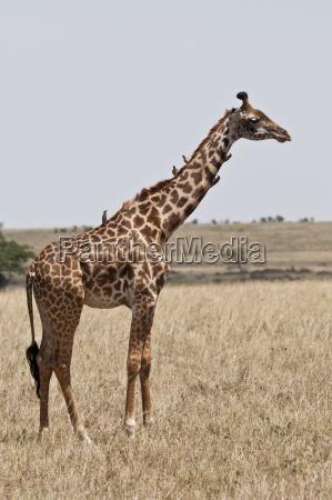 kenia oxpecker de pico rojo en