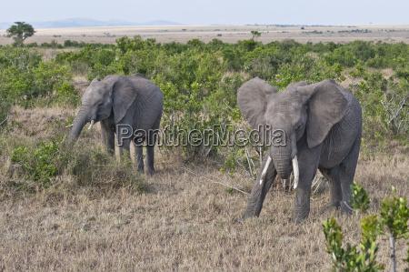 africa kenya african elephants eating grass