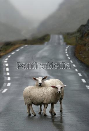 noruega ovejas de pie en la