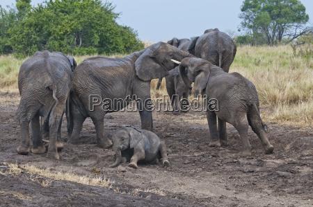 animal mamifero africa elefante kenia fauna