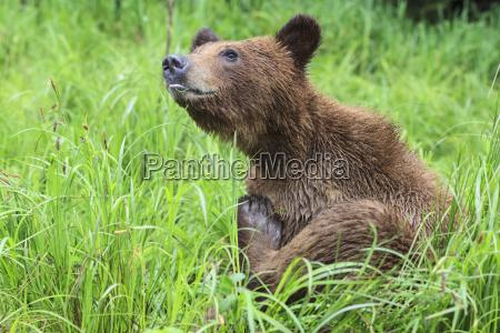 canada khutzeymateen grizzly bear sanctuary grizzly
