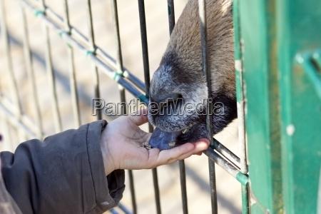 personas gente hombre lengua cabra zoo