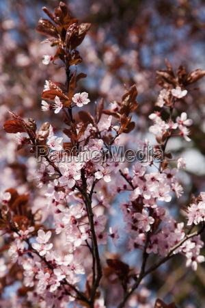 alemania wuerzburg flores de cerezo en