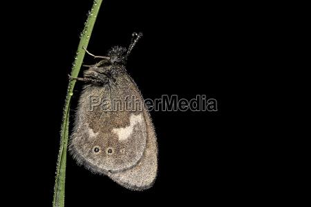 large heath coenonympha tulliaon hanging on