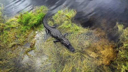 usa florida american alligator at everglades