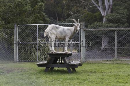 paseo viaje animal mamifero madera cabra