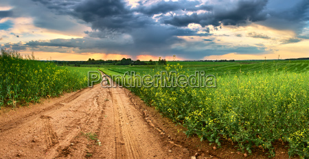 dirt road in green colza fields