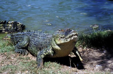 arrastrarse gatear reptil cocodrilo australia horizontalmente