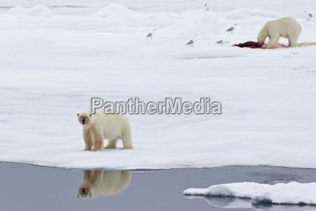 animal pajaro oso oso polar artico