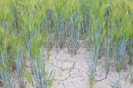 alemania sajonia campo de trigo seco
