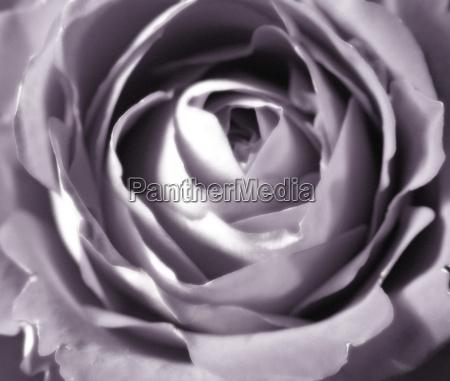 flor planta rosa romantico inocencia fragil