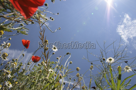 poppies in a meadow close up