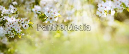 las, flores, blancas, en, el, sol - 21300170