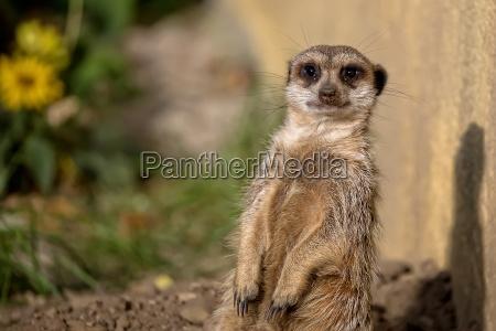 meerkat, en, la, naturaleza - 21317848