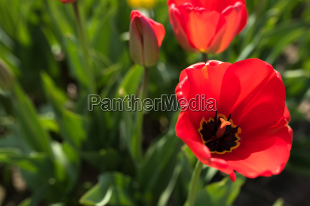 spring motif with red tulips