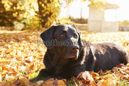 anciano perro labrador negro tirado por
