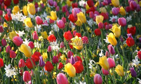 parque flor planta tulipan color cebolla