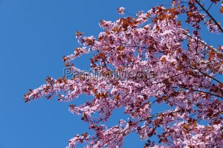 flores primavera sangrar cherry plum rosa