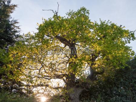 the sun poking through an oak