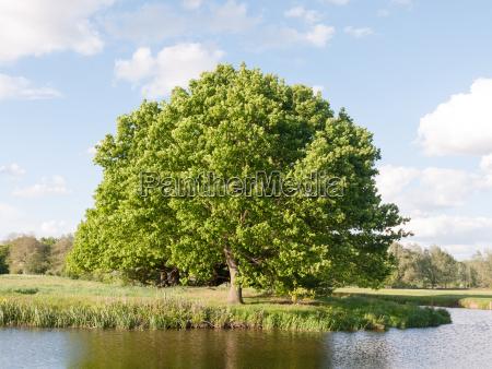 a big single oak tree at