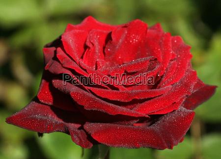 flor rosa planta oscuro fragante amor