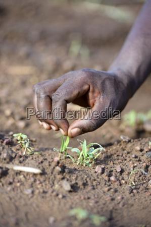 burkina faso zambele hand with sorghum