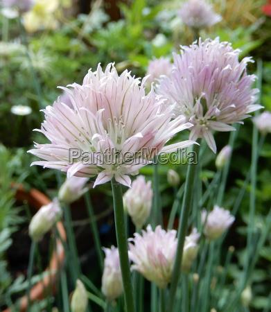 comida flor rosa planta las maravillosas
