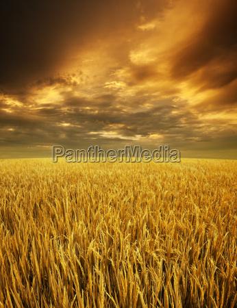 golden paddy fields landscape