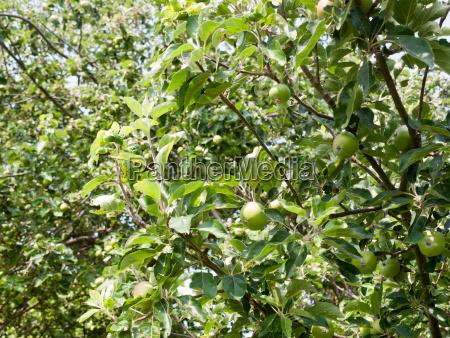 apple tree outside in garden