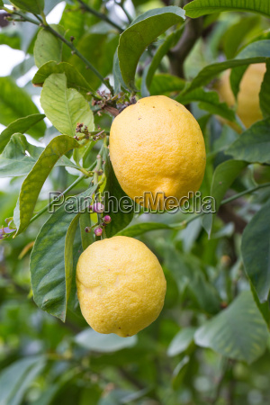 de plantas utiles fruta limon cal