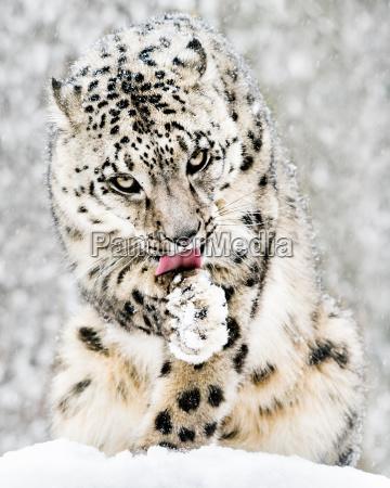 animal mamifero gato nieve nevada copos