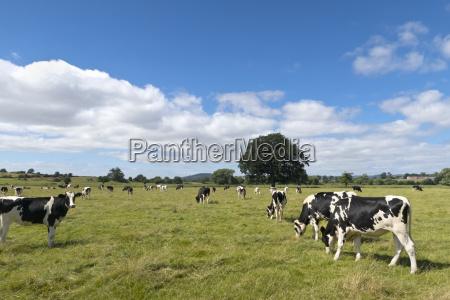 fresian cows grazing on farm pasture