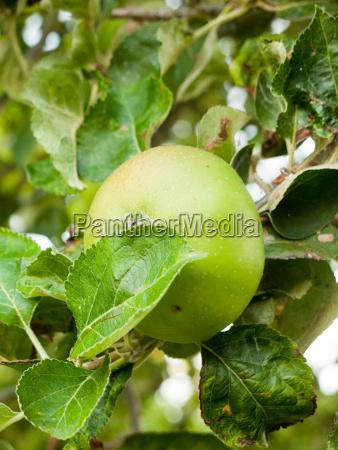 uk cooking apple growing on tree