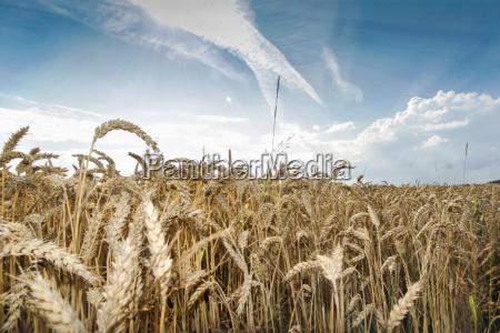 azul pan agricultura verano veraniego trigo