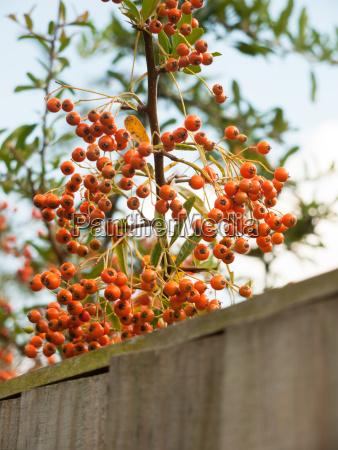 orange berries lush and ripe in