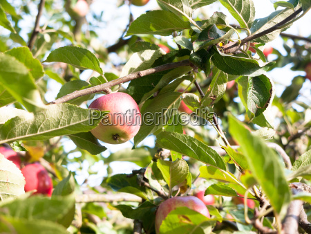 close, up, of, red, ripe, apple - 22850739
